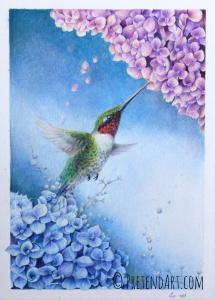 Humming bird and Hydrangeas